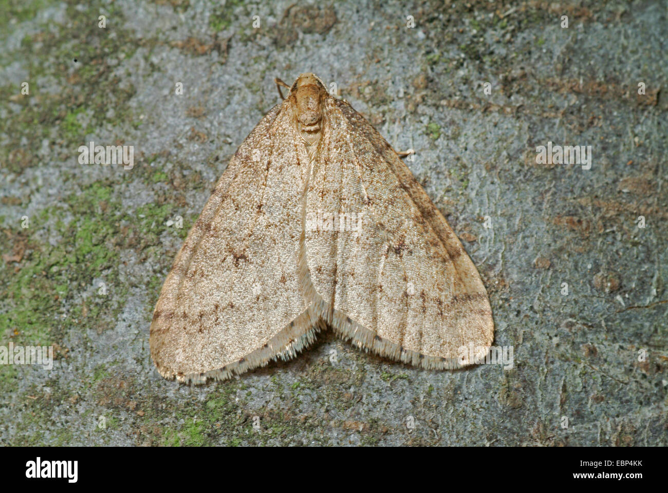 winter moth, small winter moth (Operophtera brumata, Cheimatobia brumata), on bark, Germany - Stock Image