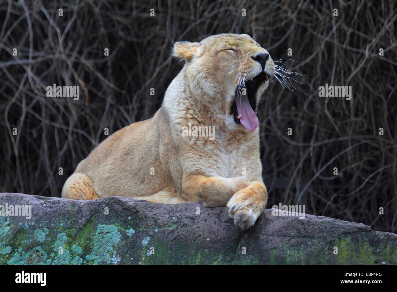 Asiatic lion (Panthera leo persica), yawning - Stock Image