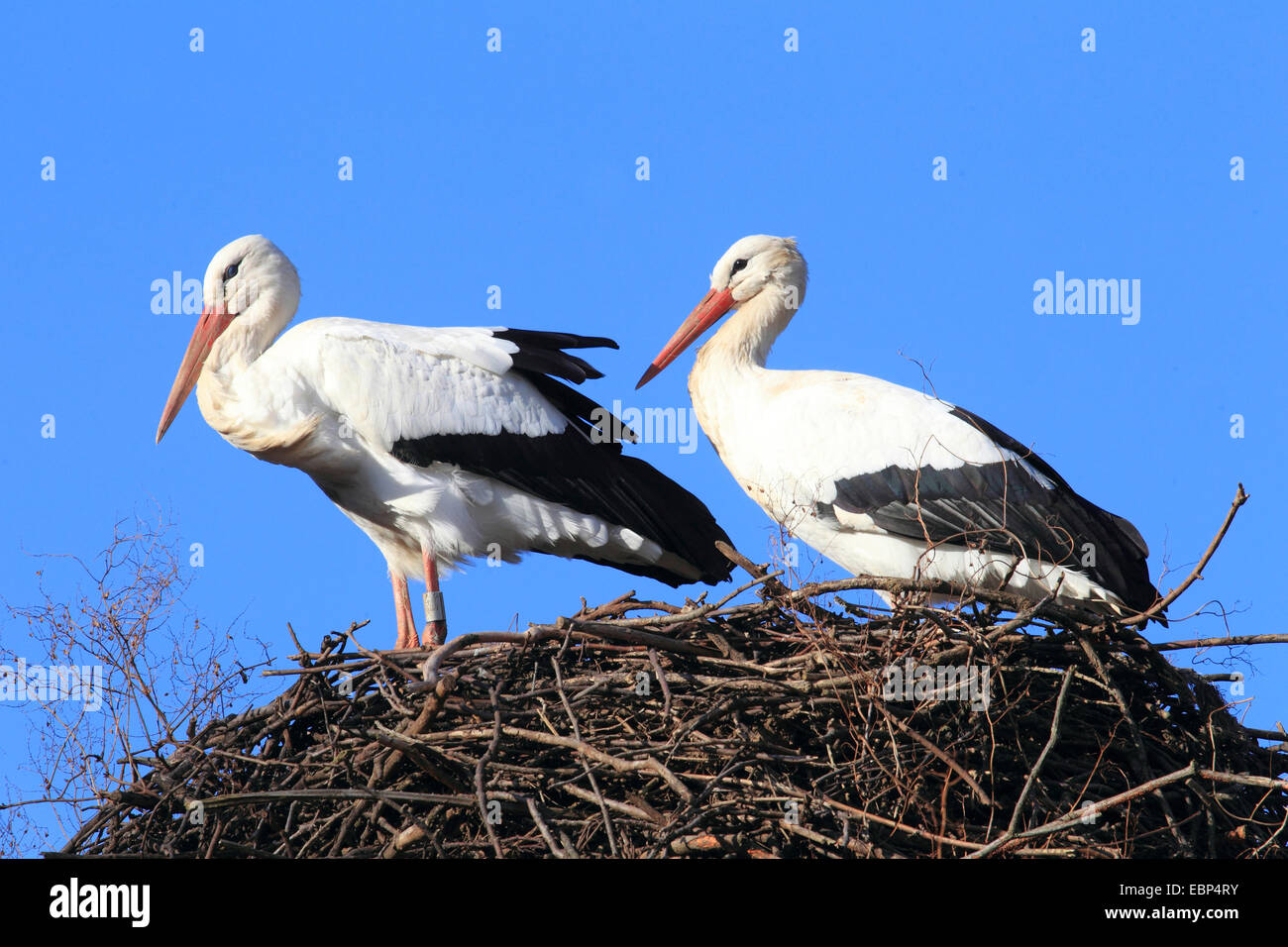 white stork (Ciconia ciconia), two white storks at the nest, Germany - Stock Image
