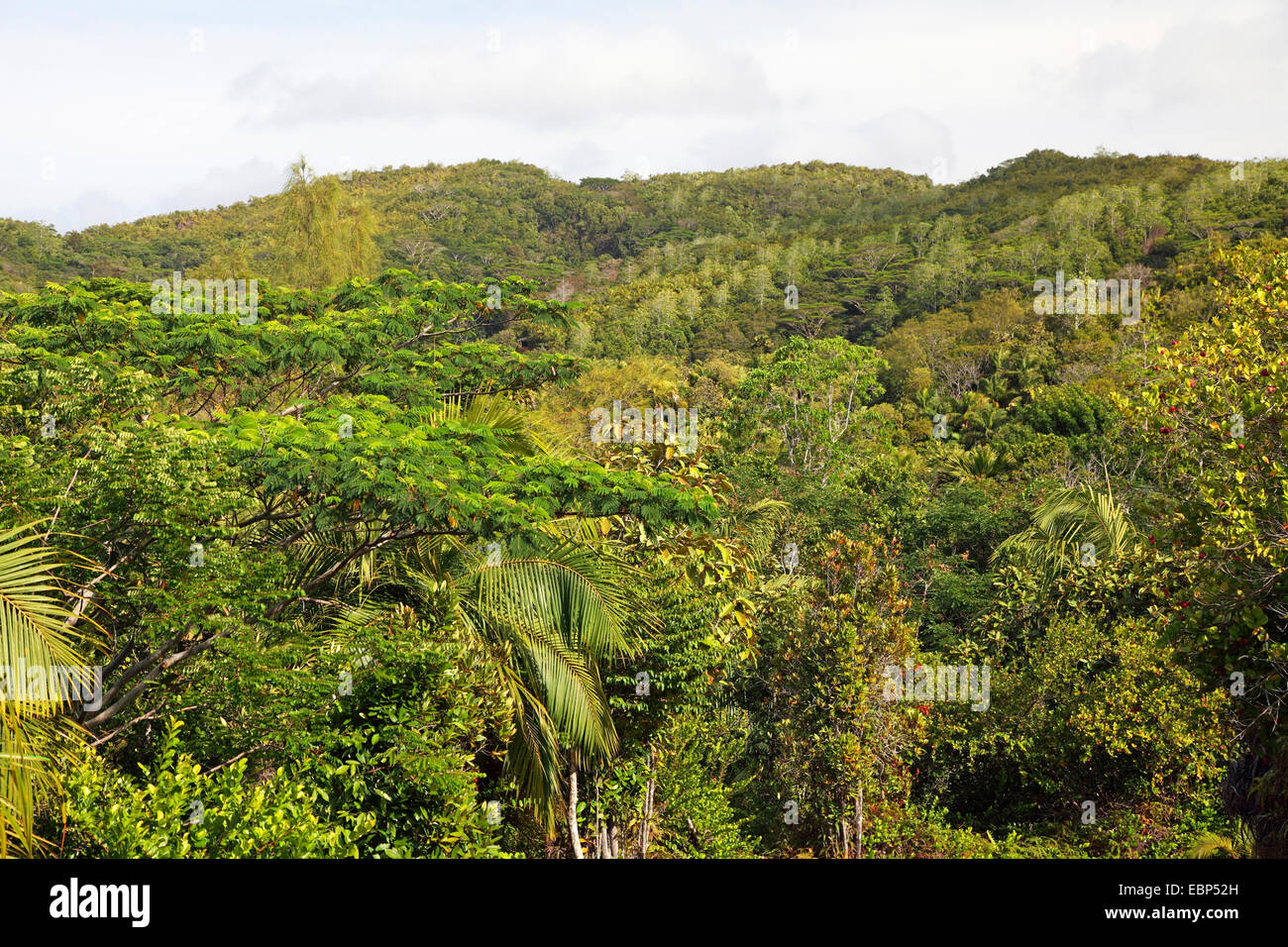 primeval forest, Seychelles, Vallee de Mai National Park, Praslin - Stock Image