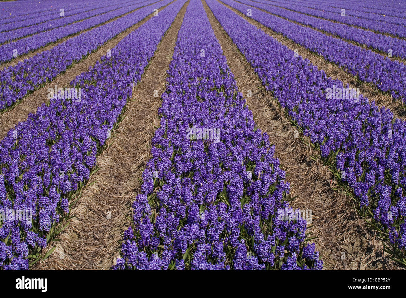 Jacinthe (Hyacinthus orientalis), Field of hyacinths at Keukenhof, Netherlands, Lisse Stock Photo