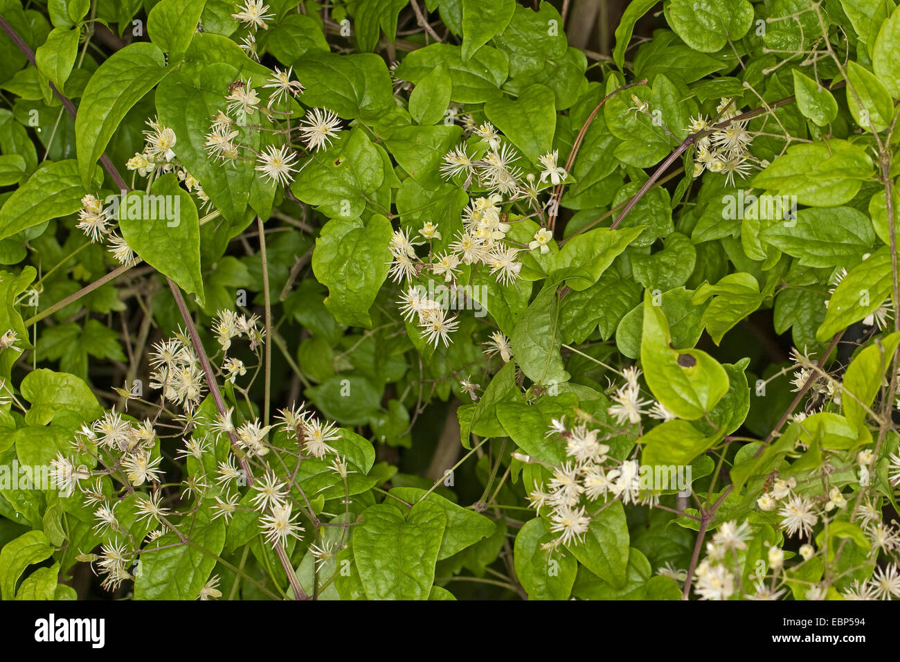 Travelers Joy, Old Man's Beard (Clematis vitalba), blooming, Germany - Stock Image