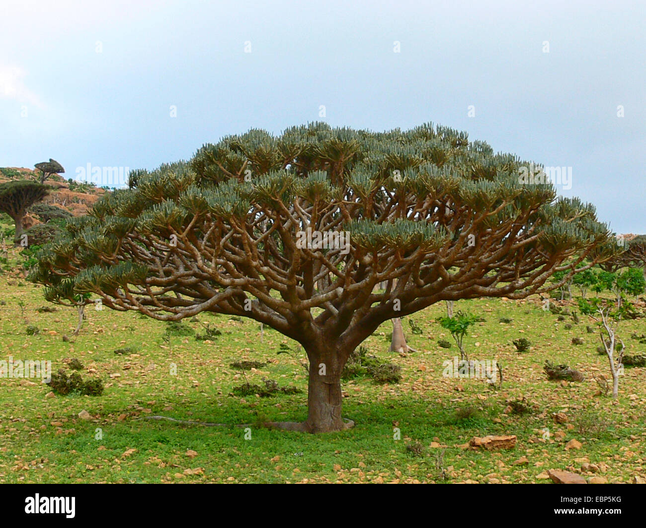 Spurge (Euphorbia arbuscula), endemic to Yemen, Yemen, Socotra - Stock Image