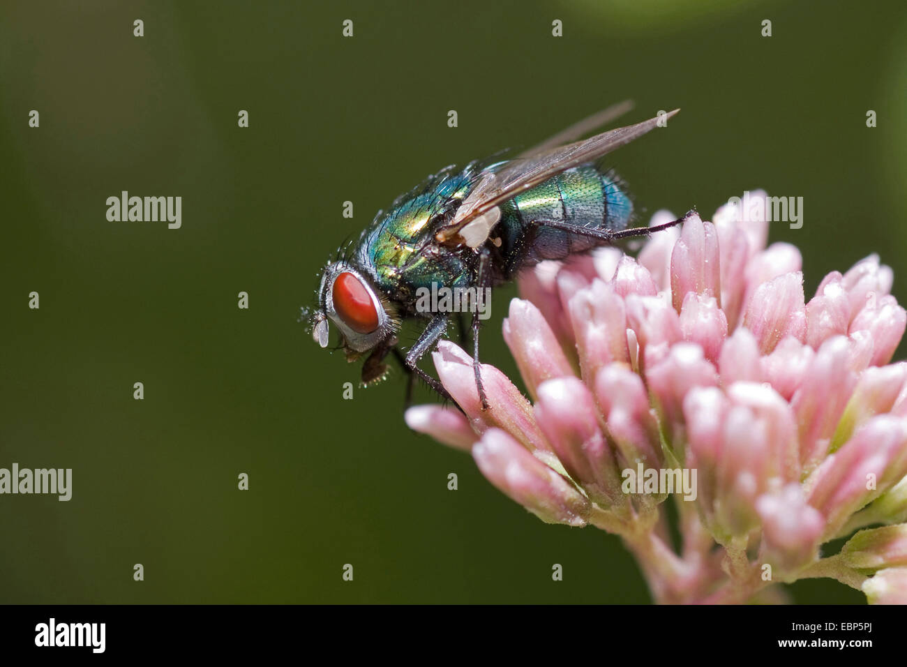 blow fly (Lucilia sp), on pink flowers, Germany - Stock Image