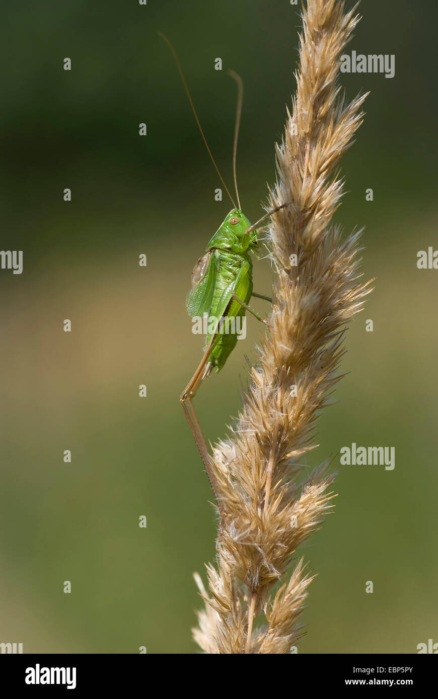 twocoloured bushcricket (Metrioptera bicolor), at a grass ear, Germany - Stock Image