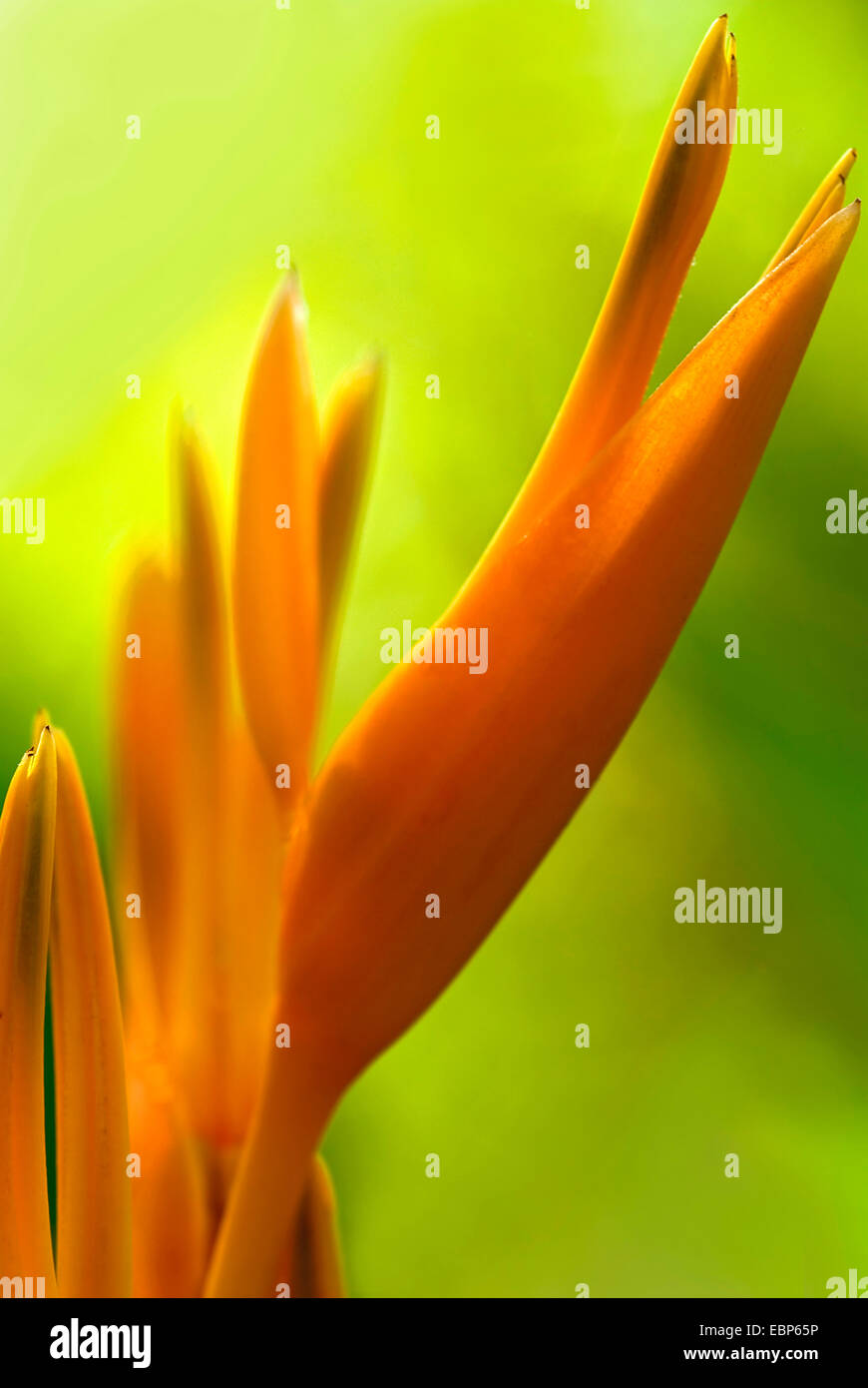 Heliconia (Heliconia chartacea), detail of the blossom - Stock Image