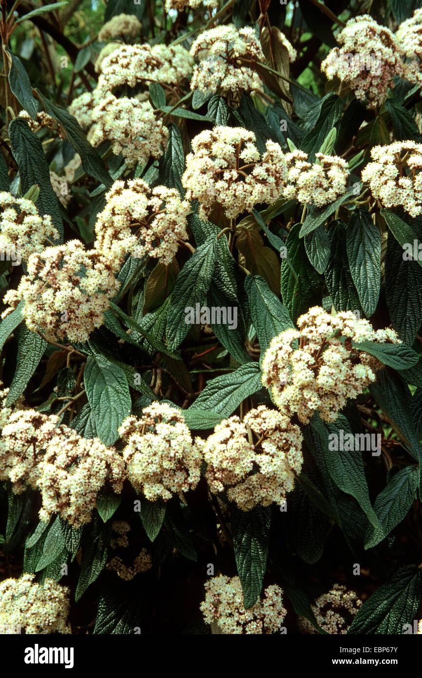 leatherleaf viburnum (Viburnum rhytidophyllum), blooming - Stock Image