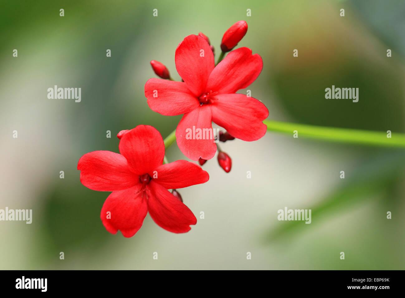 Miss Hongkong (Jatropha integerrima, Jatropha scuminata), flowers - Stock Image
