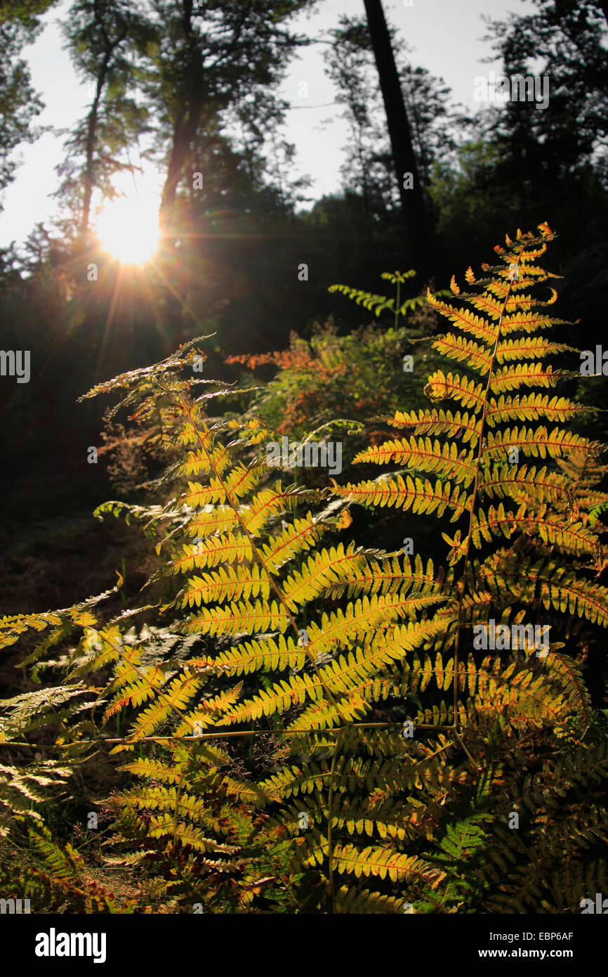 male-fern (Dryopteris filix-mas), backlight shines through thefern frond , Germany, Baden-Wuerttemberg, Black Forest - Stock Image
