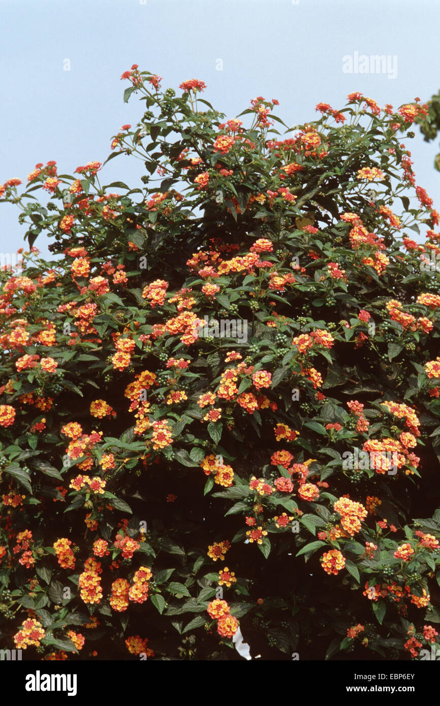 lantana (Lantana camara 'Radiation', Lantana camara Radiation), blooming Stock Photo