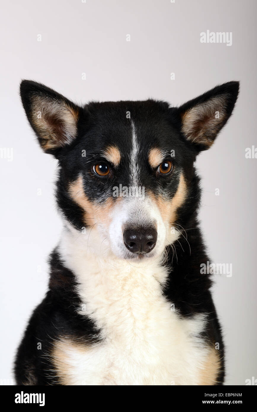 Pet pets dog dogs mongrel mixed breed studio portrait white background - Stock Image