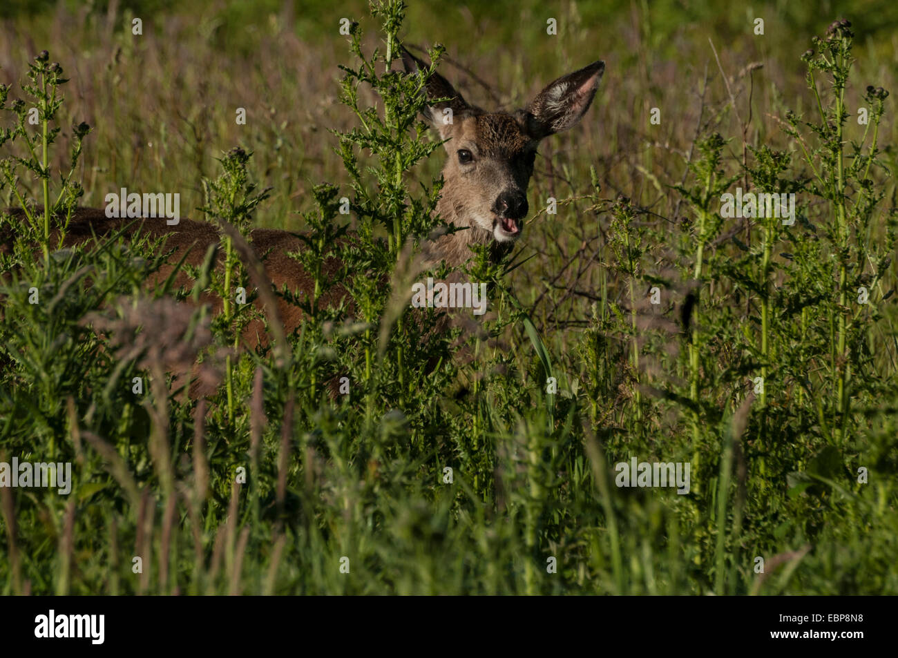 A young male Roosevelt Elk (Cervus canadensis) Prairie Creek Redwoods State Park, Northern California Coast. - Stock Image