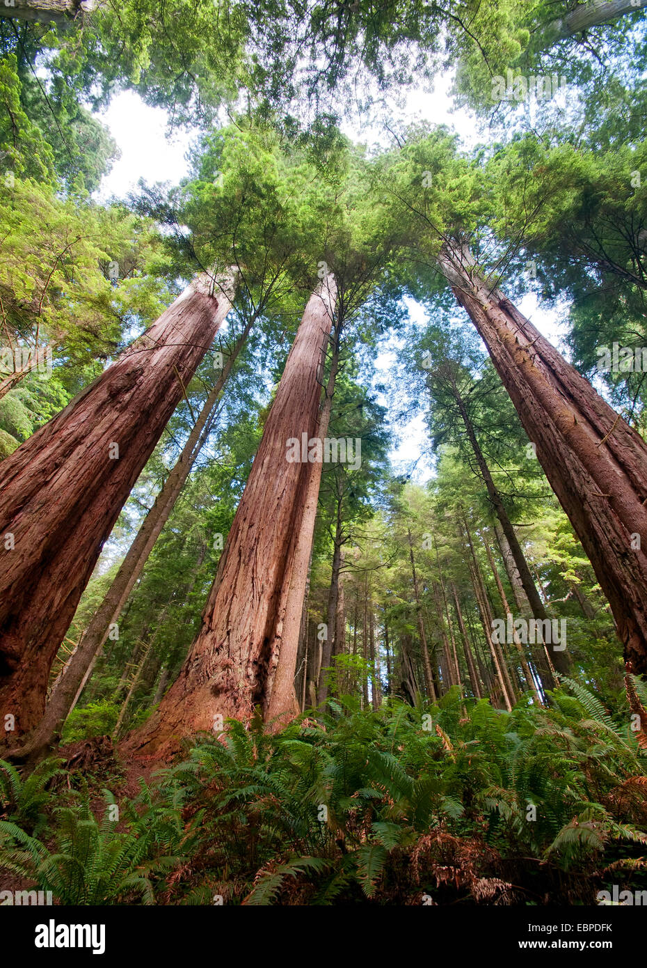 Sequoia, Redwood forest - Stock Image