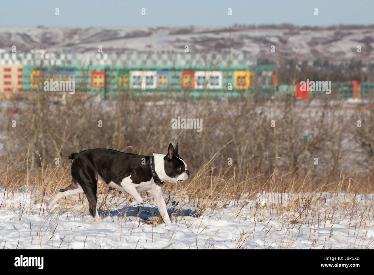 Eleven year-old Boston Terrier running free in off-leash area of city park. - Stock Image