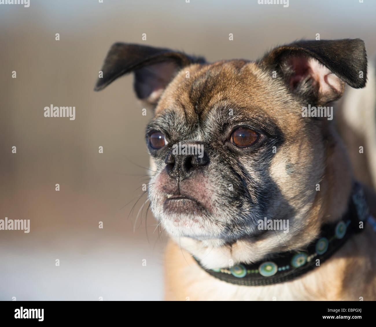 Bugg - cross between Boston Terrier and Pug dog Stock Photo