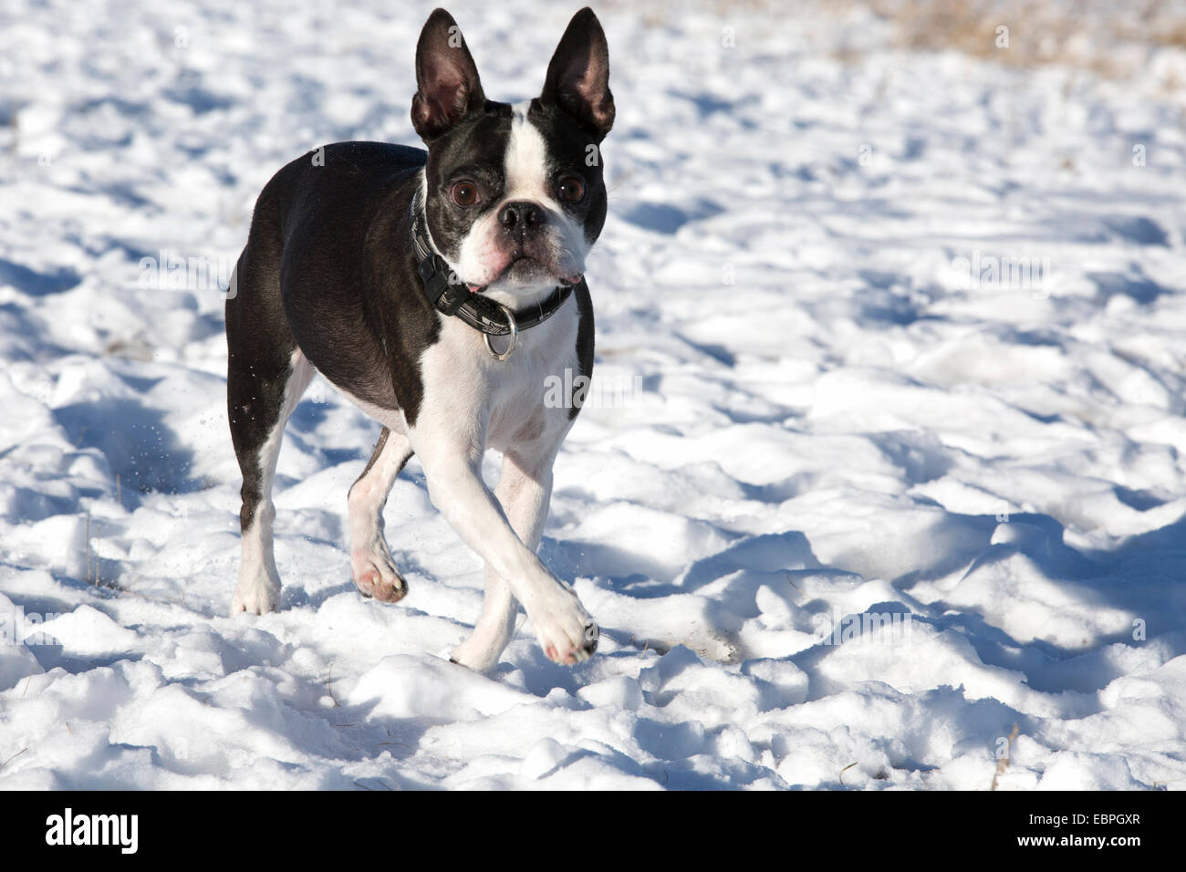 Eleven year-old Boston Terrier running in snow in off-leash dog park - Stock Image