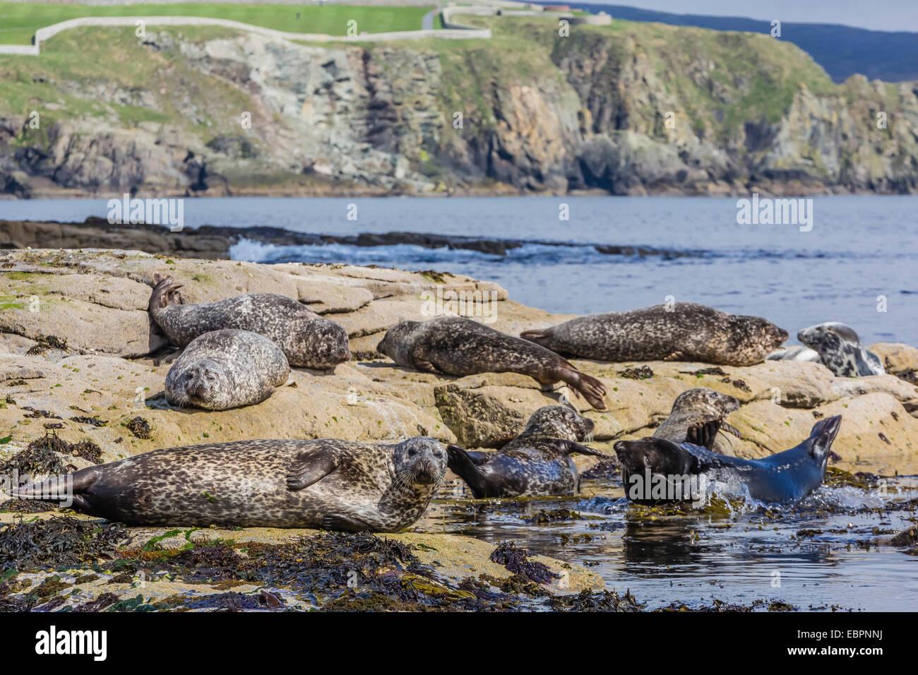 Gray seals (grey seals) (Halichoerus grypus) hauled out on the shoreline on Mainland Island, Shetland Isles, Scotland, Stock Photo