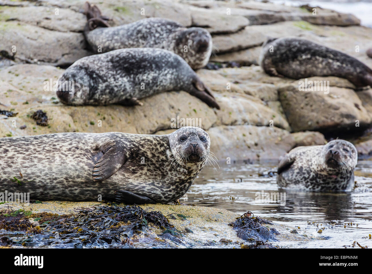 Gray seals (grey seals) (Halichoerus grypus) hauled out on the shoreline on Mainland Island, Shetland Isles, Scotland, Stock Photo