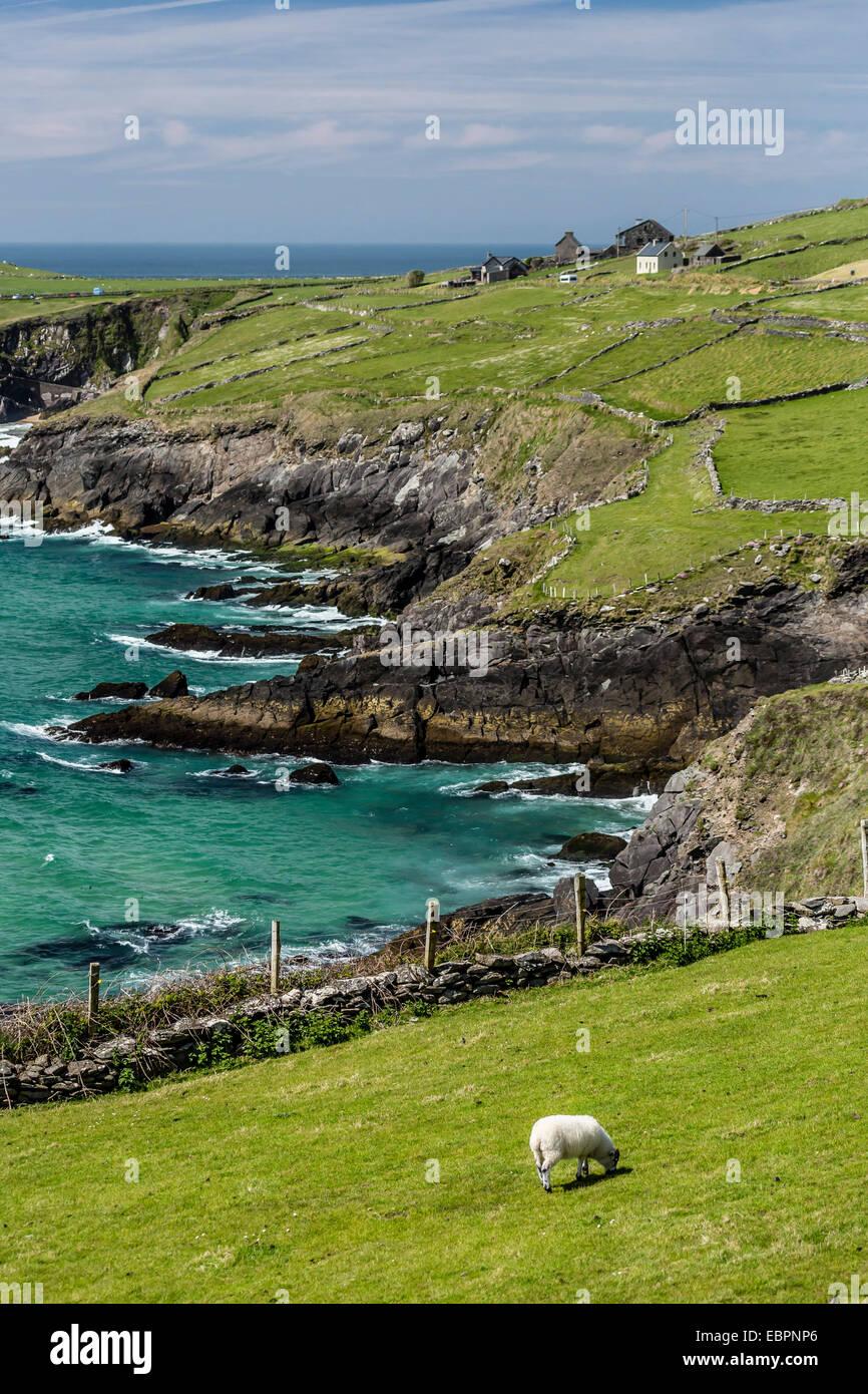 Sheep fences and rock walls along the Dingle Peninsula, County Kerry, Munster, Republic of Ireland, Europe - Stock Image