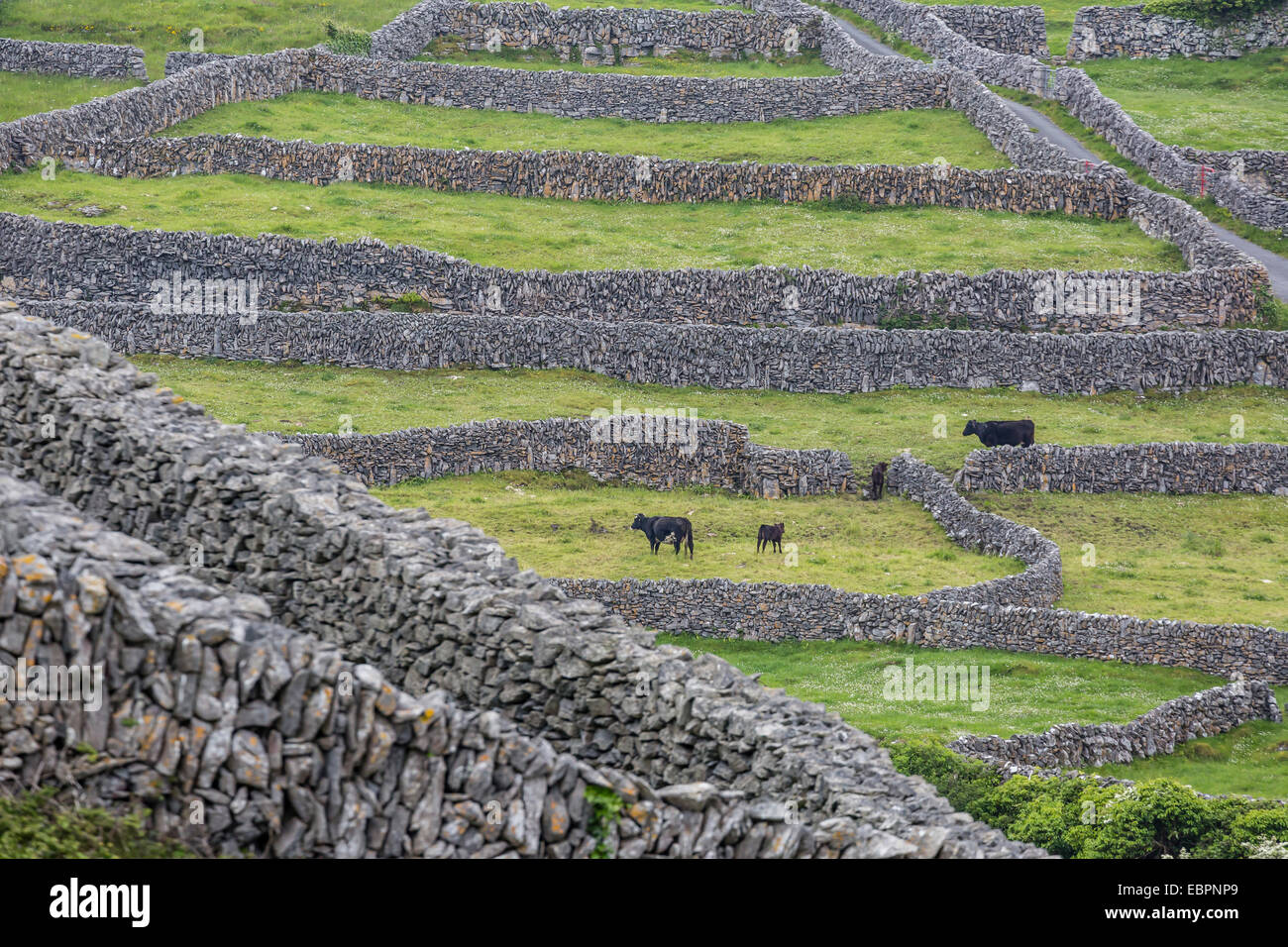 Rock walls create small paddocks for sheep and cattle on Inisheer, the easternmost of the Aran Islands, Republic - Stock Image