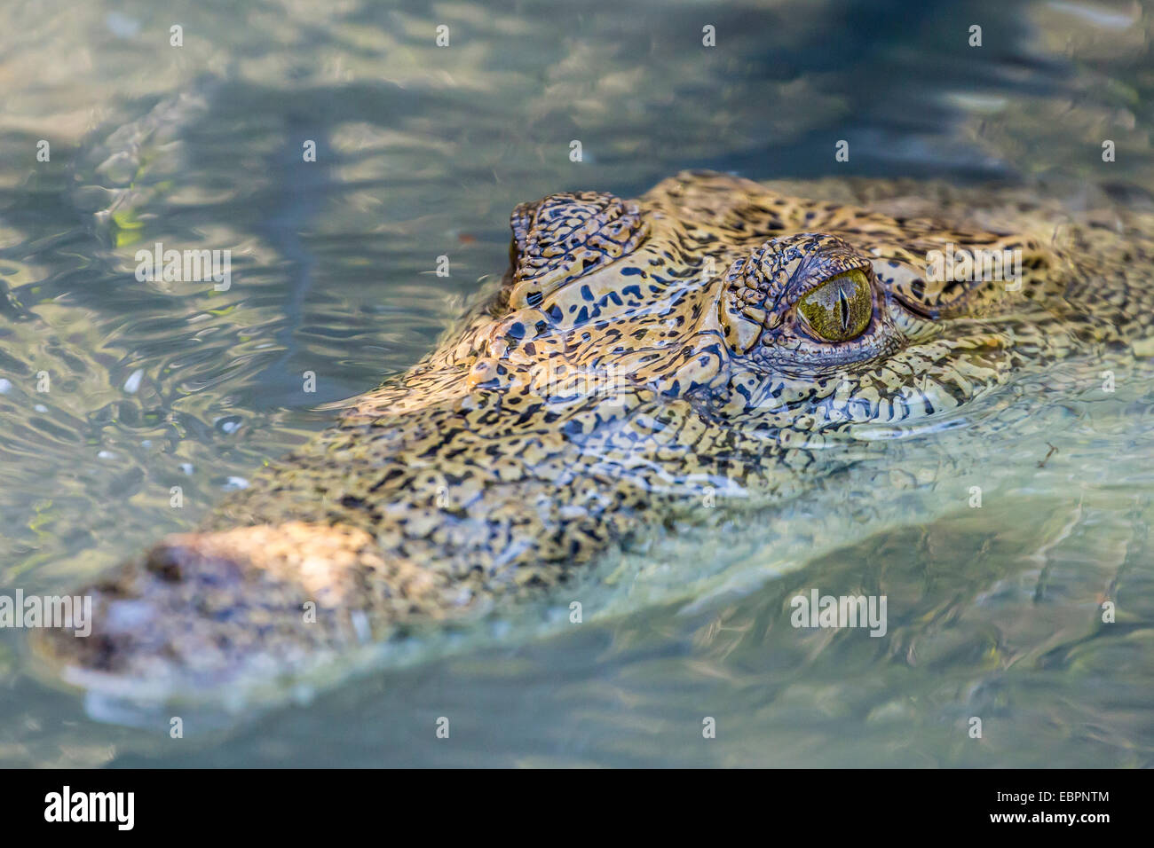 Wild saltwater crocodile head detail in porous creek on the Hunter River, Mitchell River National Park, Kimberley, - Stock Image