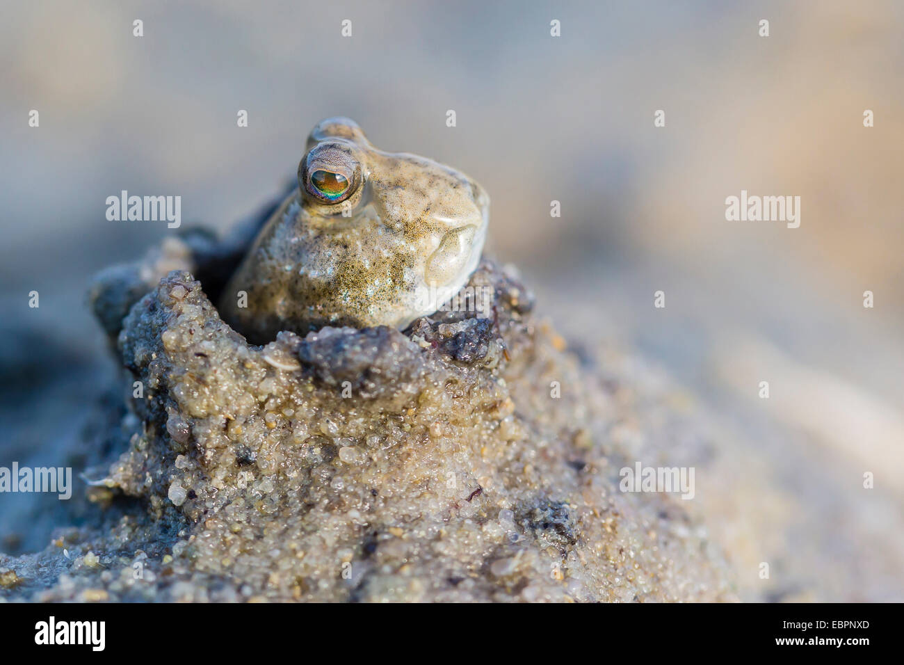 An adult mudskipper, subfamily Oxudercinae, in mud burrow on the mud flats of Vansittart Bay, Kimberley, Western Stock Photo