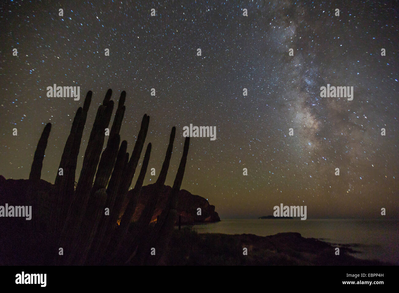 Night view of the Milky Way with organ pipe cactus (Stenocereus thurberi) in foreground, Himalaya Beach, Sonora, - Stock Image
