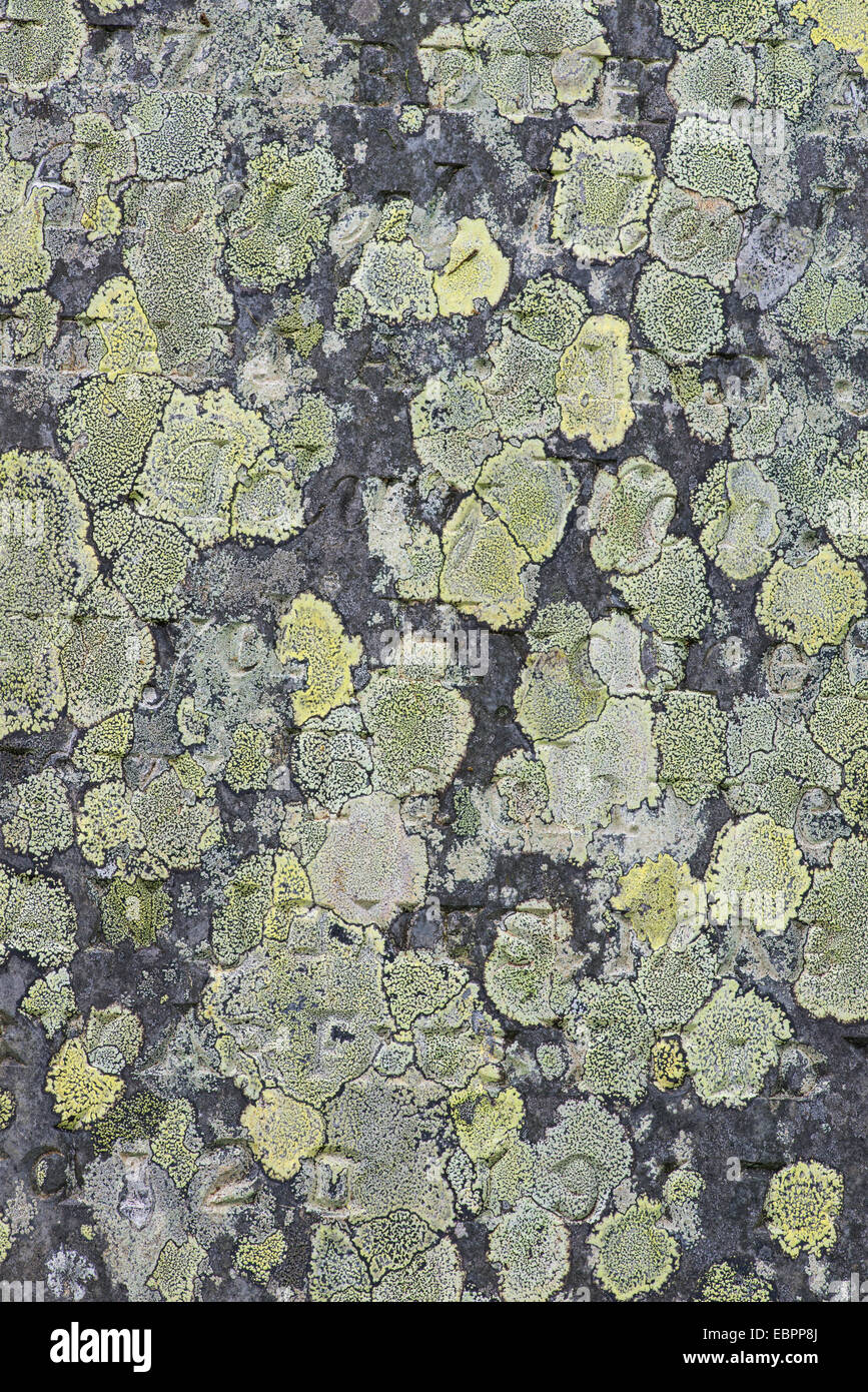 Map Lichen:  Rhizocarpon geographicum. Churchyard, Capel Curig, north Wales. - Stock Image