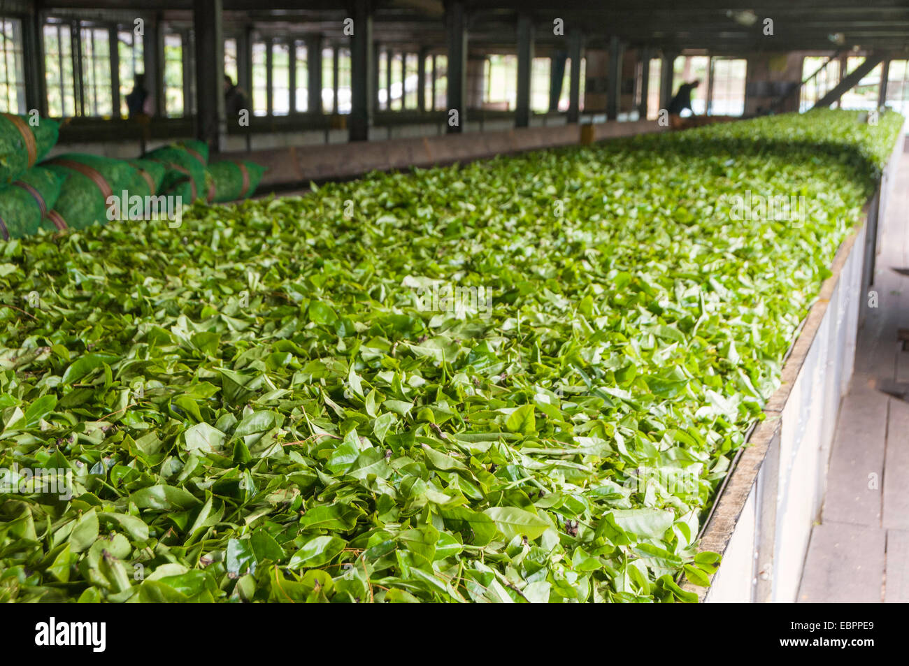 Freshly picked tea being prepared for drying in a tea plantation in Kandy, Sri Lanka, Asia Stock Photo