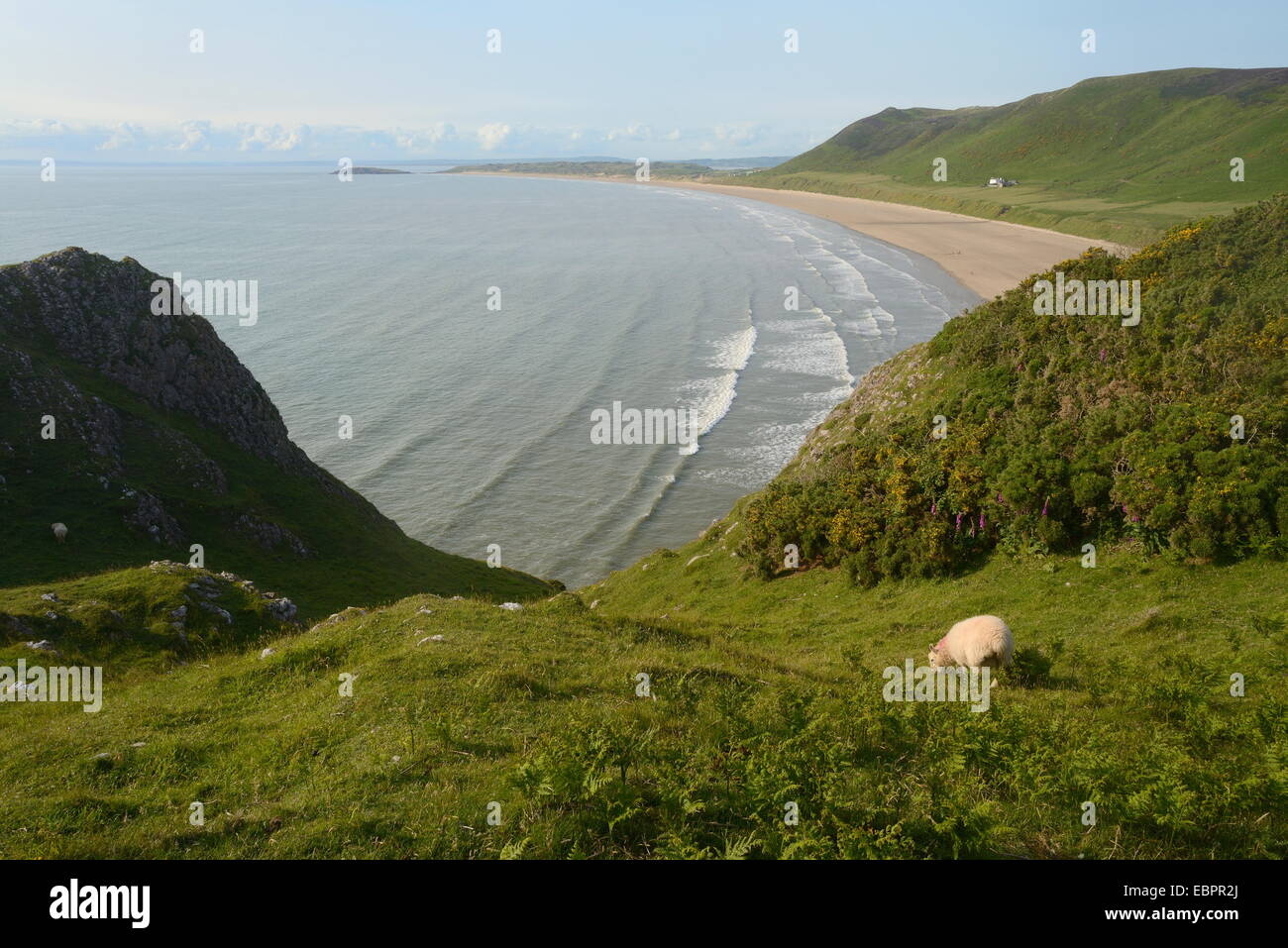 Sheep (Ovis aries) grazing cliff-top pastureland with Rhossili Bay beach in the background, The Gower Peninsula, Stock Photo