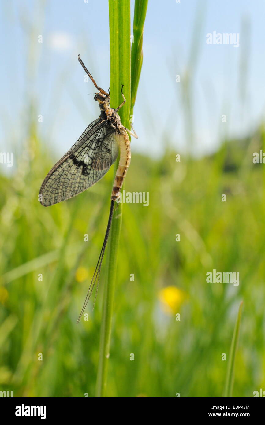 Green drake mayfly (Ephemera danica) newly emerged on a riverside grass stem, Wiltshire, England, United Kingdom, - Stock Image
