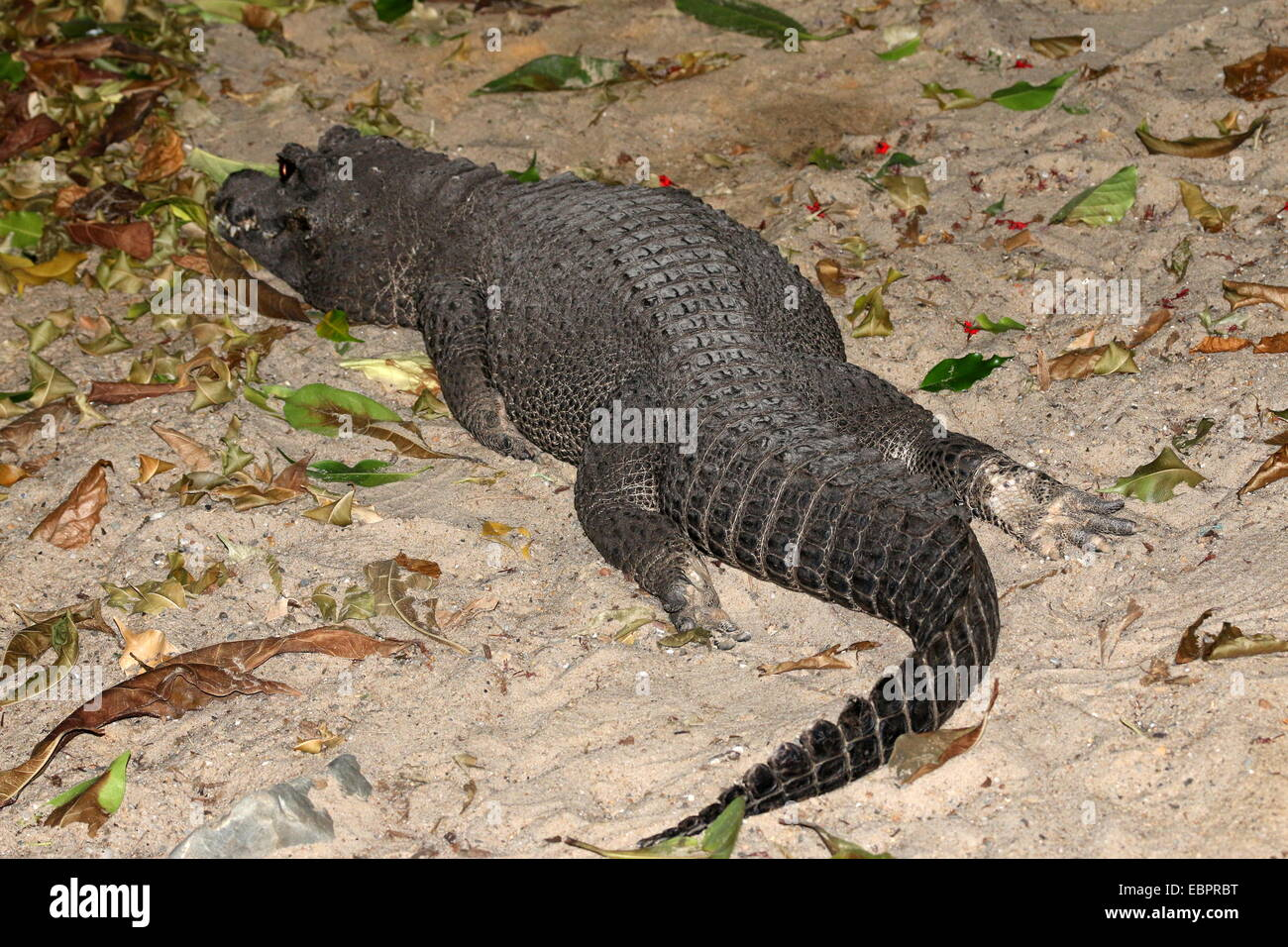 West-African Dwarf Crocodile (Osteolaemus tetraspis lazing neat the water's edge. a.k.a. Broad-snouted or Bony crocodile. Stock Photo