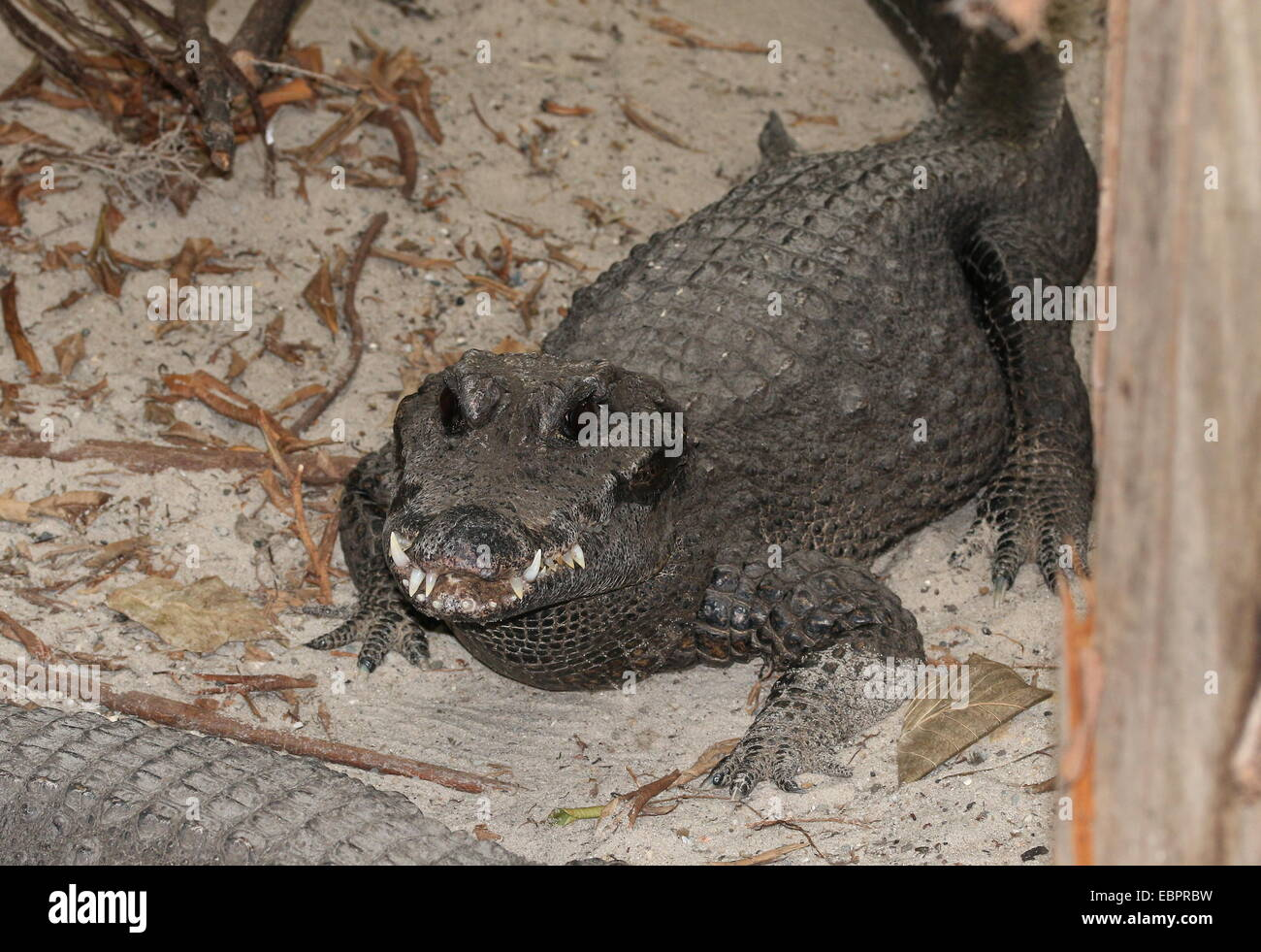 West-African Dwarf Crocodile (Osteolaemus tetraspis), a.k.a. Broad-snouted or Bony crocodile Stock Photo