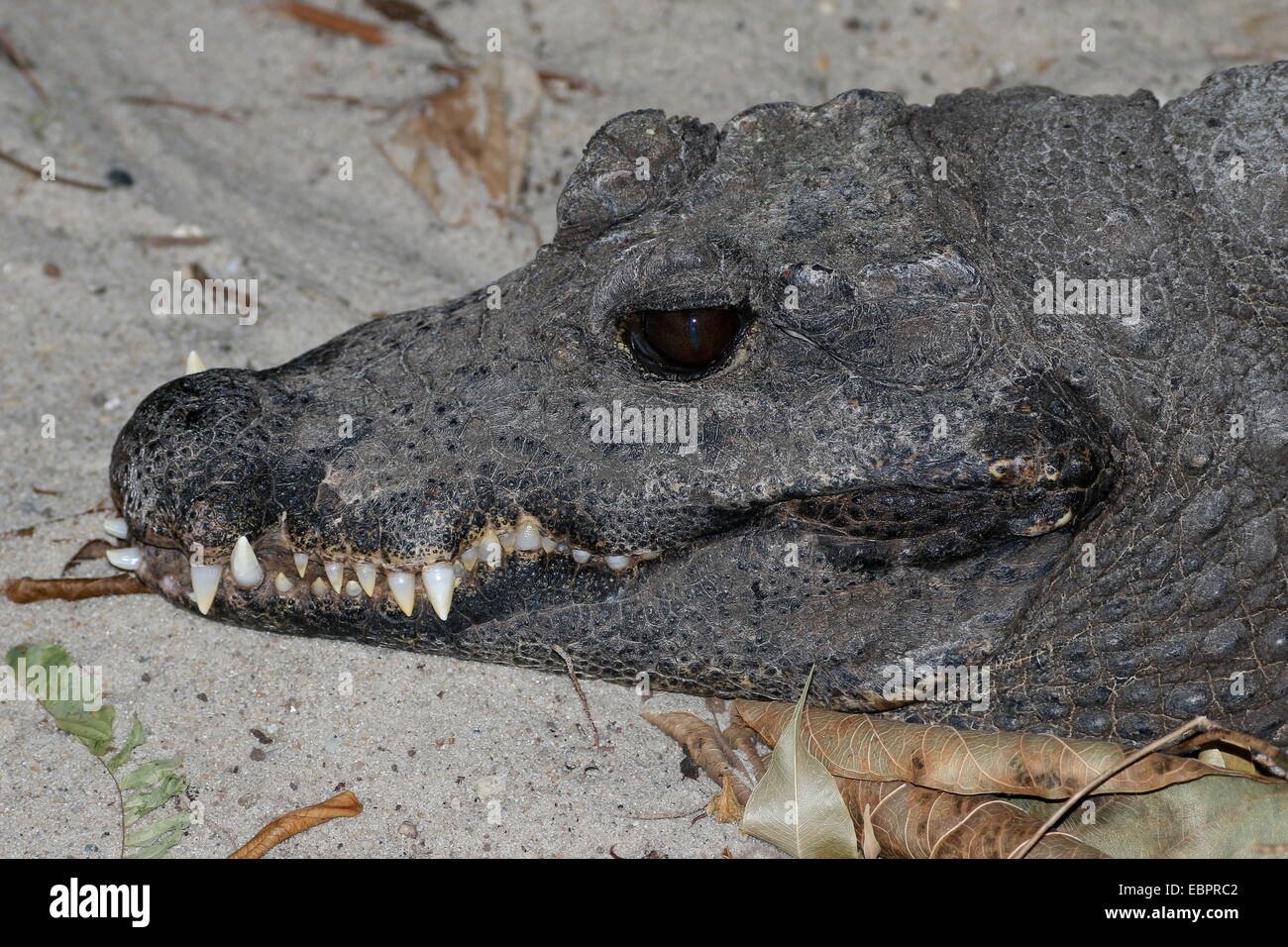 Mean-looking West-African Dwarf Crocodile (Osteolaemus tetraspis, close-up of the head and razor-sharp teeth Stock Photo