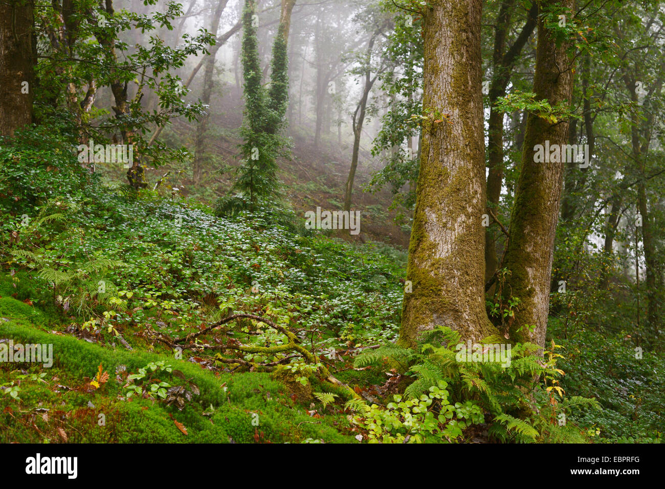 Mature ancient woodland, cleared of conifers with no understorey or shrub layer, Wales, UK. - Stock Image