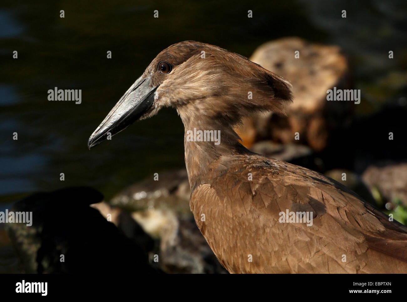 Close-up of the anvil-shaped head of a Hamerkop or Hammerhead stork (Scopus umbretta) Stock Photo