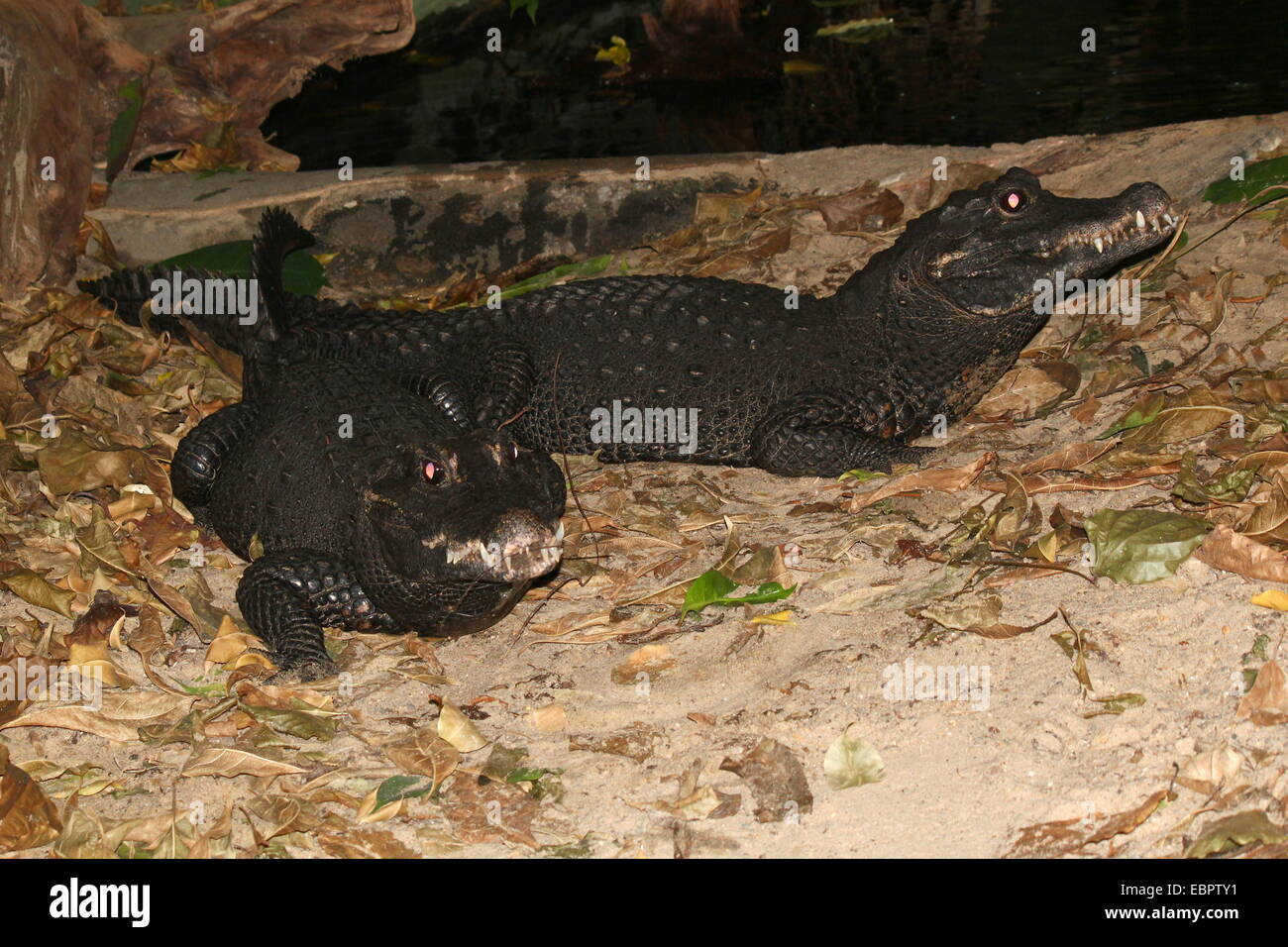 Two West-African Dwarf Crocodiles (Osteolaemus tetraspis)  a.k.a. Broad-snouted or Bony crocodile Stock Photo