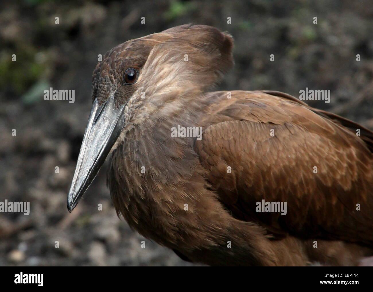 Close-up of the hammer-shaped head of a Hamerkop or Hammerhead stork (Scopus umbretta) Stock Photo