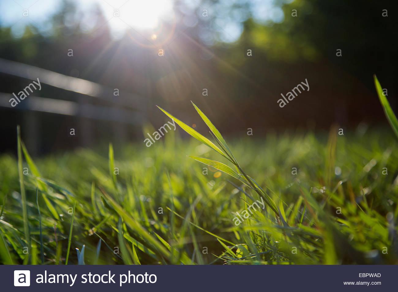 Sun shining on blades of grass - Stock Image