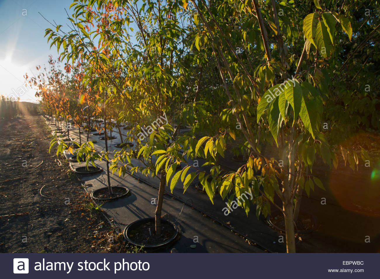 Sun shining along young potted trees - Stock Image