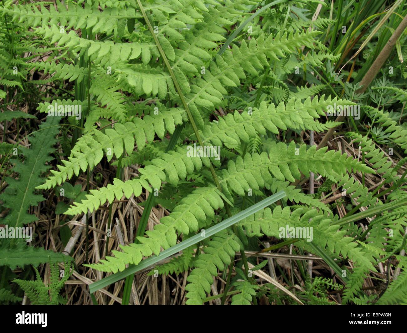 marsh fern (Thelypteris palustris), detail of a frond, Germany, North Rhine-Westphalia - Stock Image