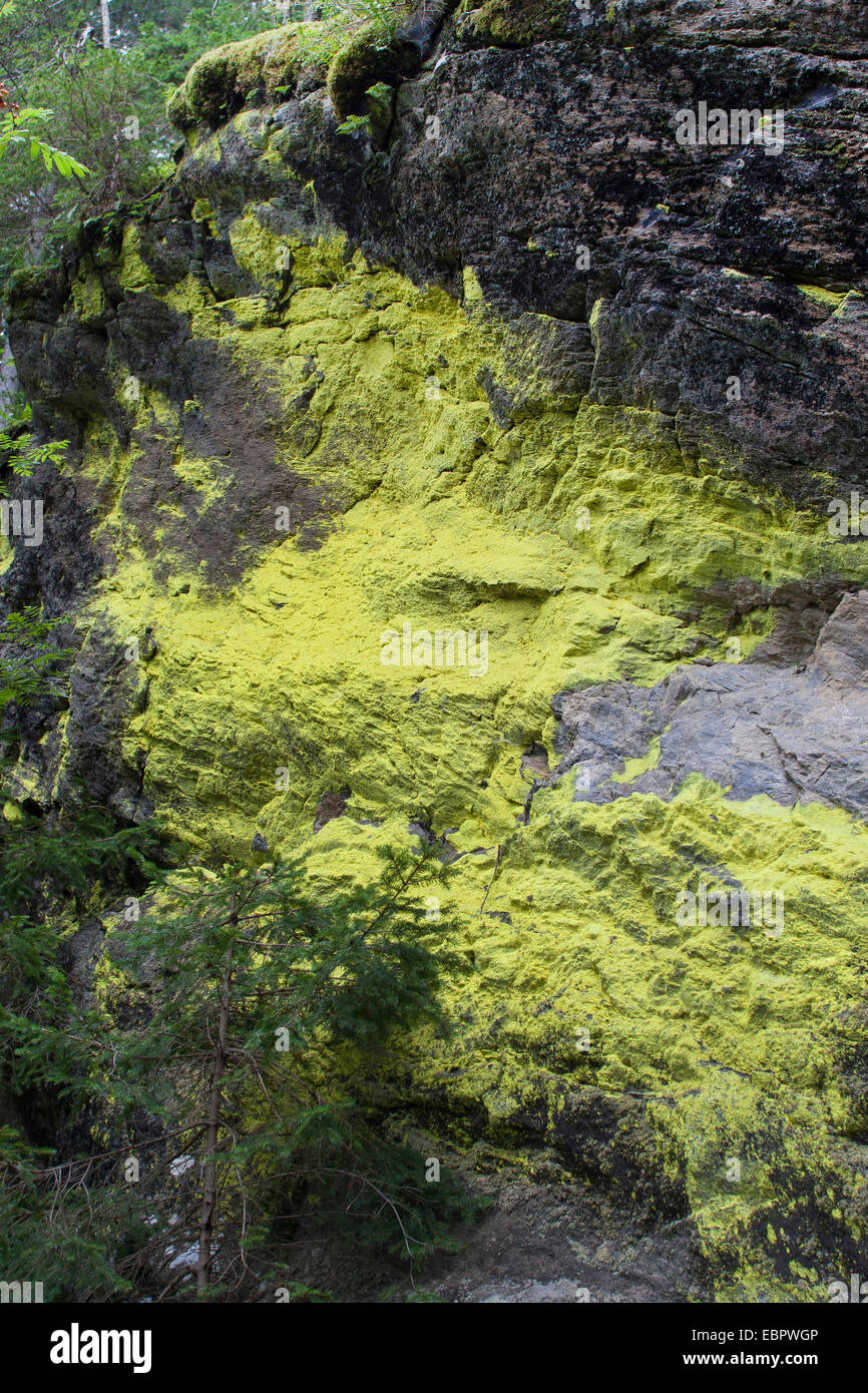 Sulfur dust lichen (Chrysothrix chlorina, Lepraria chlorina), on a rock, Germany - Stock Image