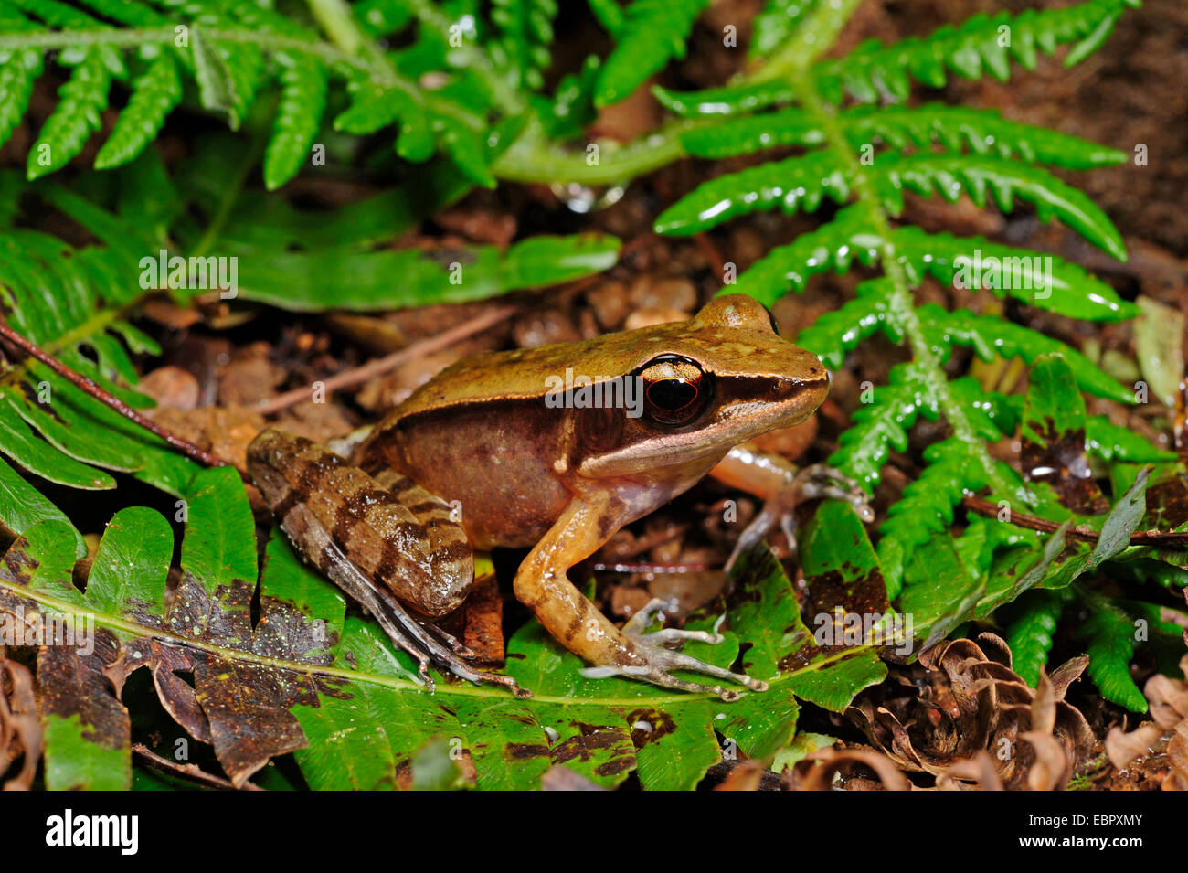 frog (Hylarana spec.), on the ground, Sri Lanka - Stock Image