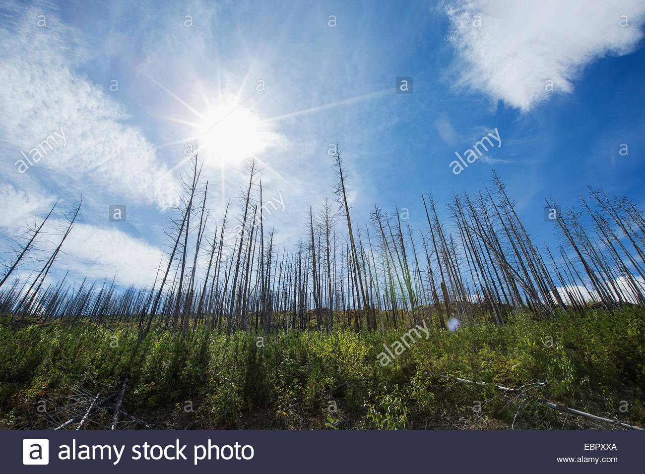 Sun shining over dead trees - Stock Image
