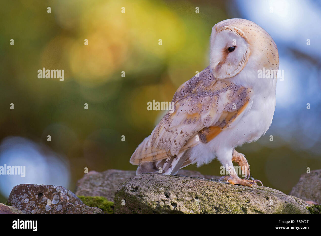 Barn owl (Tyto alba), side glance, Germany, Lower Saxony - Stock Image