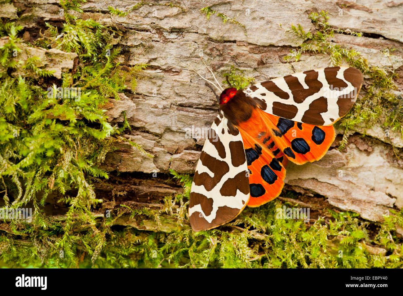 Garden tiger moth (Arctia caja), on mossy deadwood, Germany Stock ...