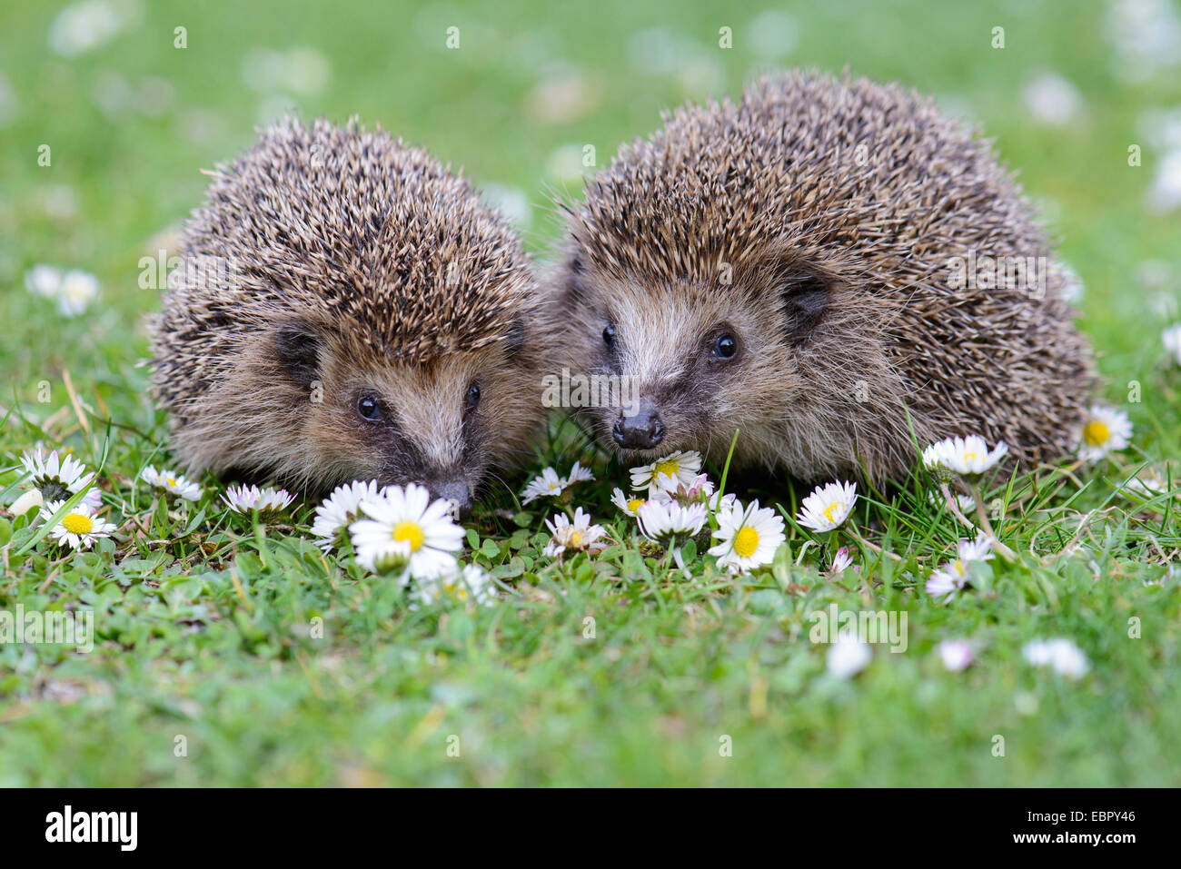 Western hedgehog, European hedgehog (Erinaceus europaeus), couple in a flower meadow with daisies, Germany, Lower Stock Photo