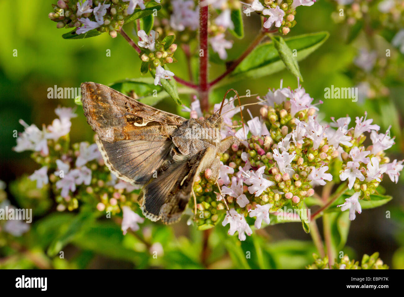 silver Y (Autographa gamma), sucking nectar at oregano, Germany - Stock Image