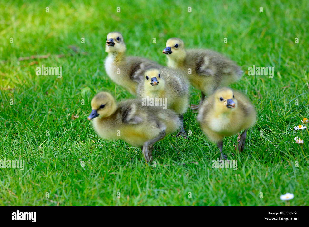 greylag goose (Anser anser), goose chicks in a meadow, Germany Stock Photo