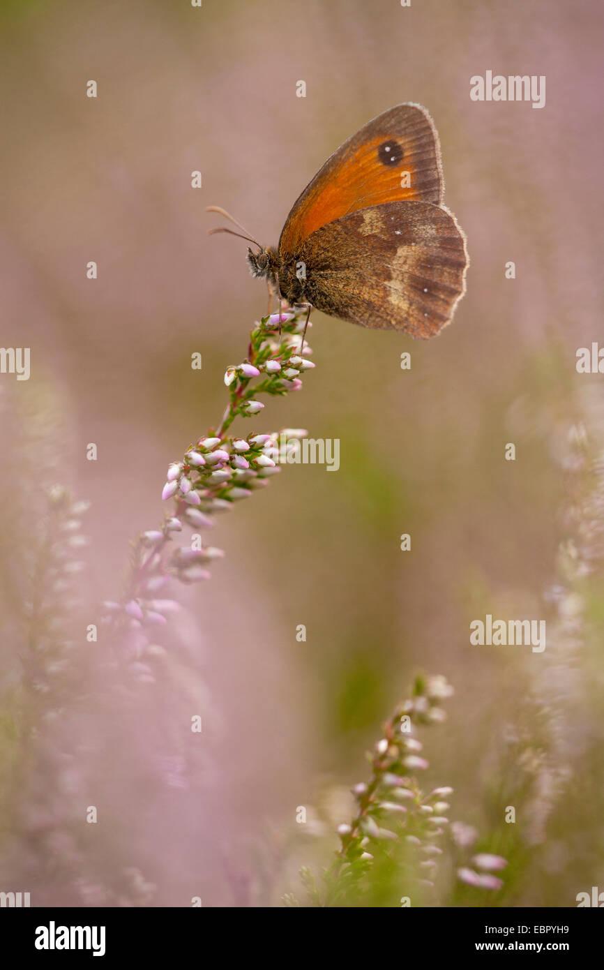 gatekeeper, hedge brown (Pyronia tithonus, Maniola tithonus), on heather, Germany, North Rhine-Westphalia - Stock Image